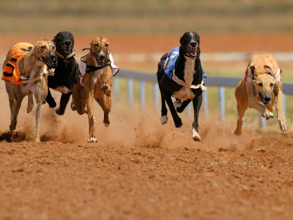 408582 – greyhounds at full speed during a race